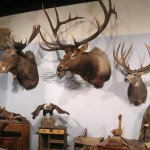 Record Shiras moose, elk and mule deer mounts