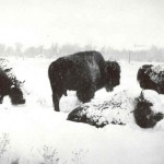 Bison in winter. #1991.4025.001