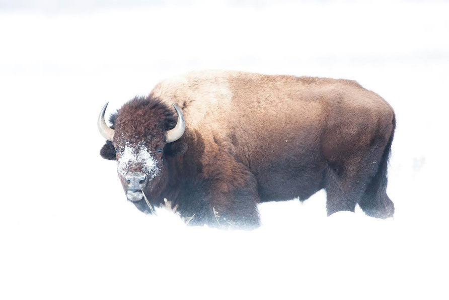 American Bison in Wyoming Winter