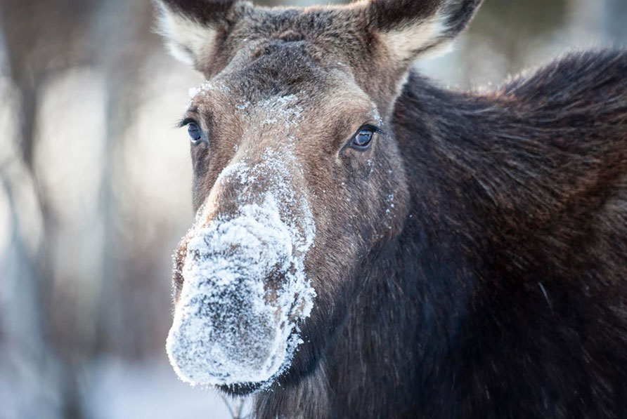 Wyoming Moose in the Winter