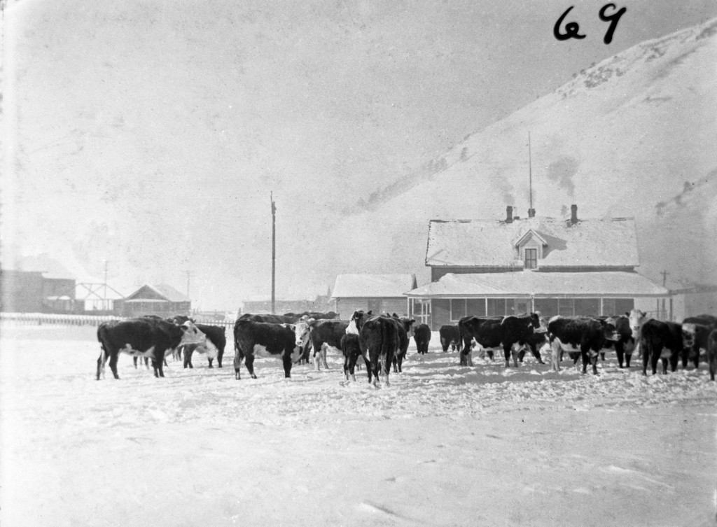 Cattle on the Jackson Town Square. Collection of the Jackson Hole Historical Society & Museum