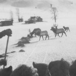 Feeding elk from sleigh. #1994.6034.001