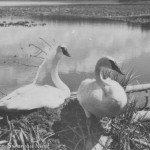 Trumpeter swans. #1958.1486.001.