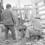 156. Dehorning steer in chute