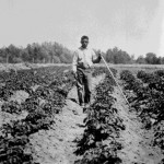 87. Man in field with crops and hoe